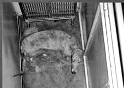 greyhound locked in cage